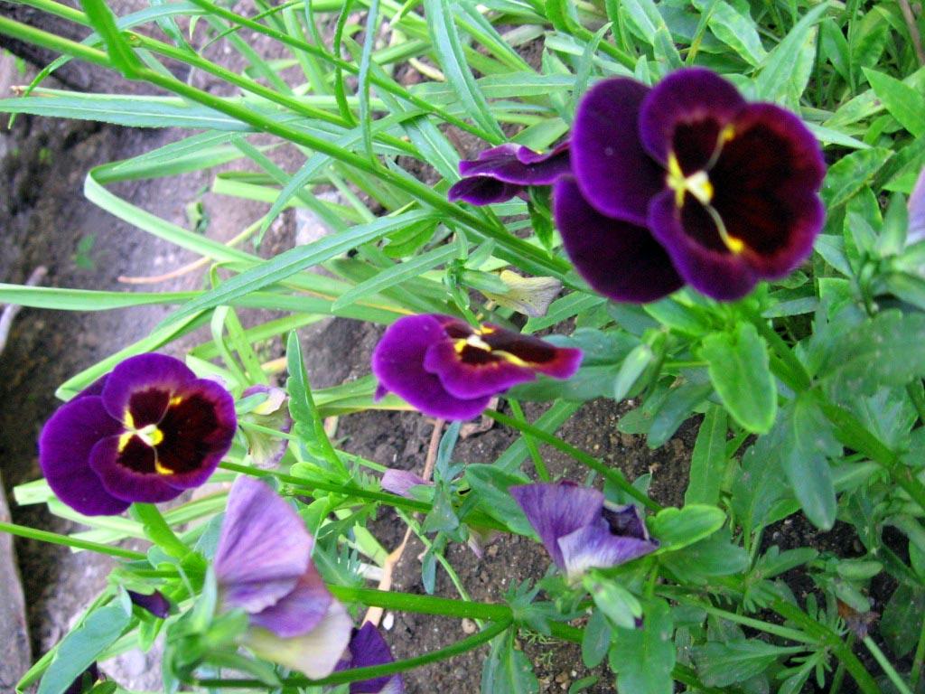 Многолетние цветы для дачи Каталог цветов фото с
