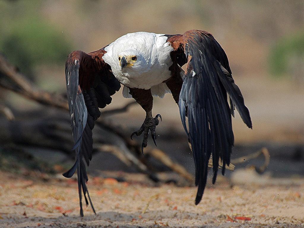 Хищные птицы  и названия