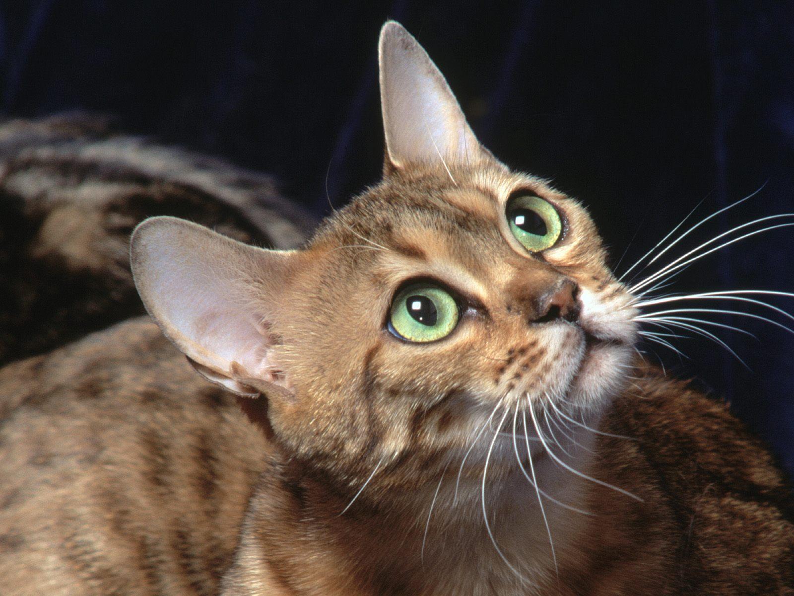 коты и кошки обои на рабочий стол