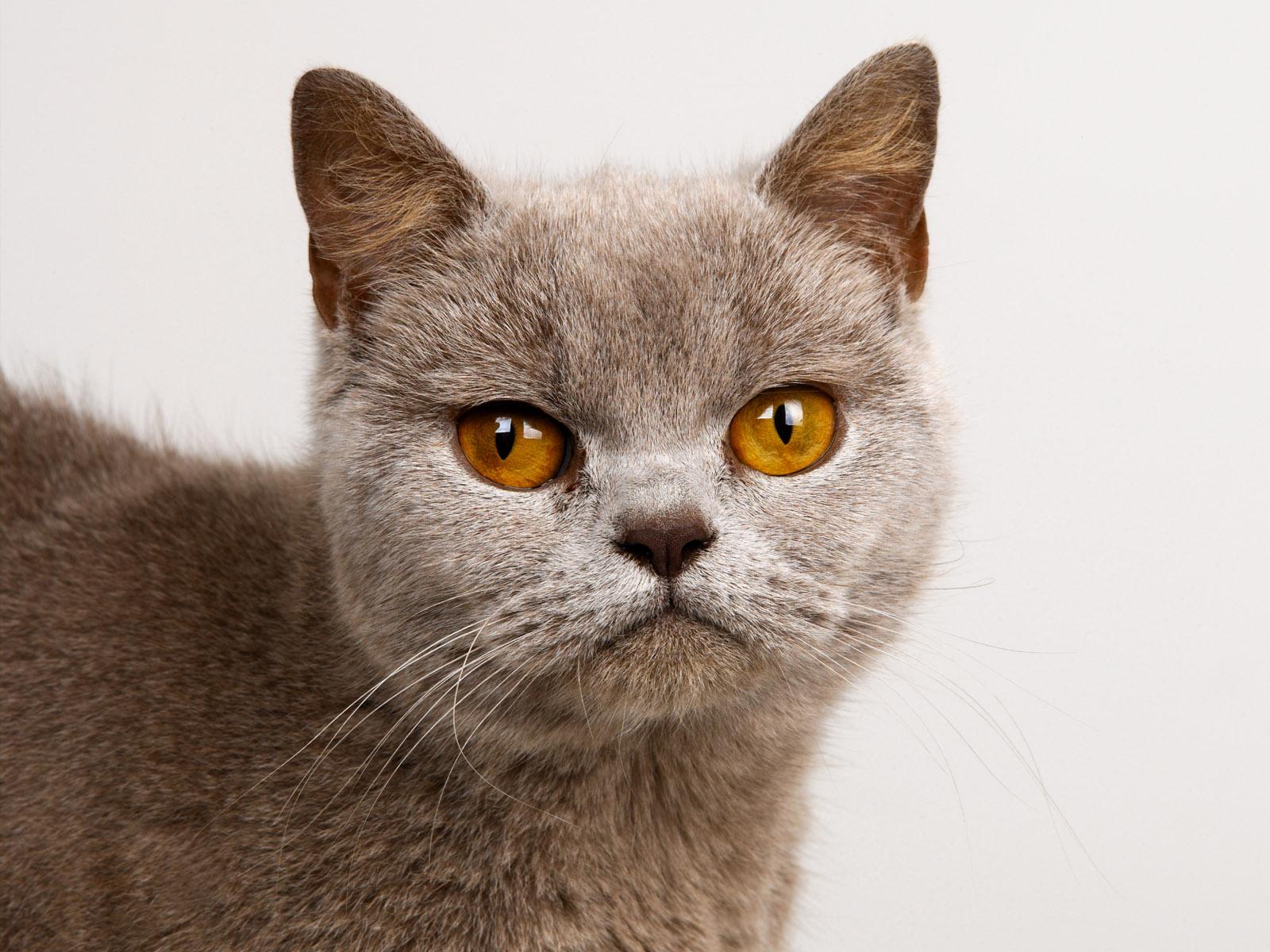 бирманская кошка обои на рабочий стол № 539362 без смс