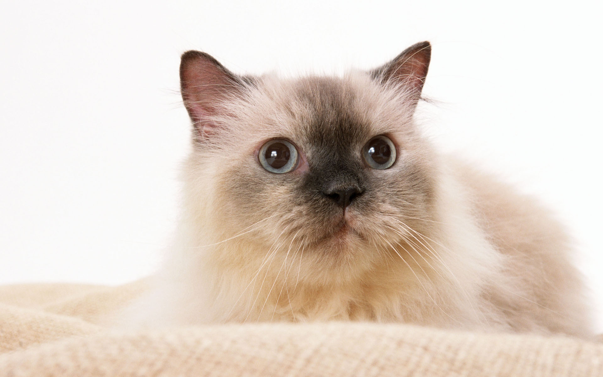 бирманская кошка обои на рабочий стол № 539372 без смс